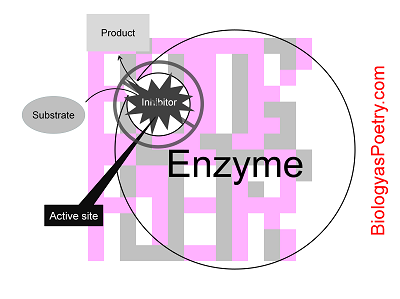 Competitive inhibition of an enzyme